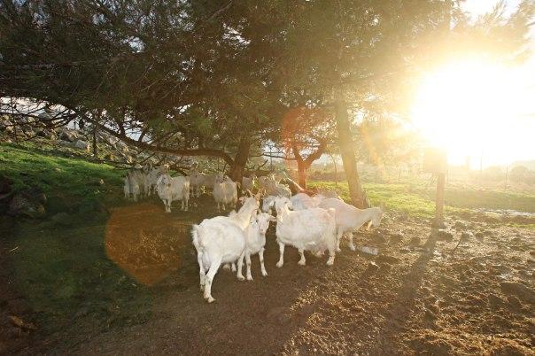הצאן של מנחם ברח לעבר ירדן והוליד סערה בינלאומית קטנה. צילום: מרים צחי