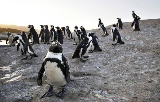 זולתניות המנצחת את האנוכיות. פינגווינים בדרום אפריקה  צילום: גטי אימג'ס