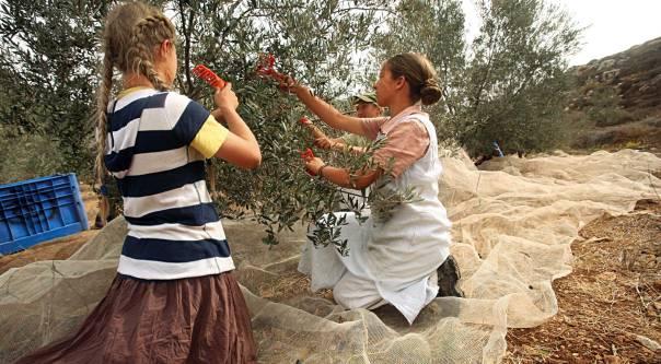 מתנדבים בכרמים ובפרדסים. נוצרים אוונגליסטים בכרם זיתים ליד שילה צילום: מרים צחי