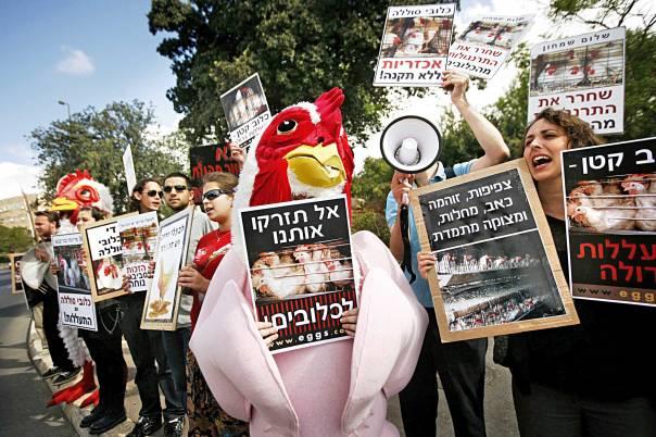 אידיאל מוסרי ודתי, אך אסור לדחוק את השעה. מחאה כנגד תנאי הכליאה של תרנגולות צילום: פלאש 90