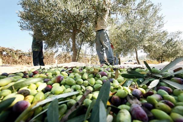 השמיטה הישראלית היא הזדמנות לציבור הדתי להחזיר את עצמו בתשובה. חקלאות בחבל בנימין צילום: מרים צחי