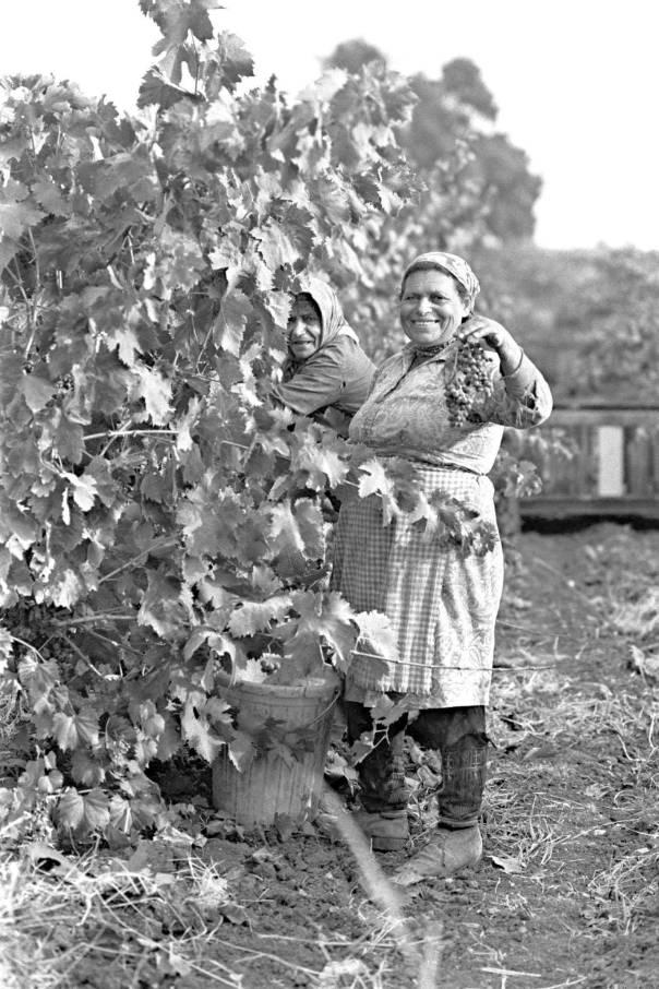 """אדמתה של ארץ ישראל איננה אדמה רגילה. בציר ענבים בקיבוץ משמר דוד, 1974 צילום: לע""""מ"""