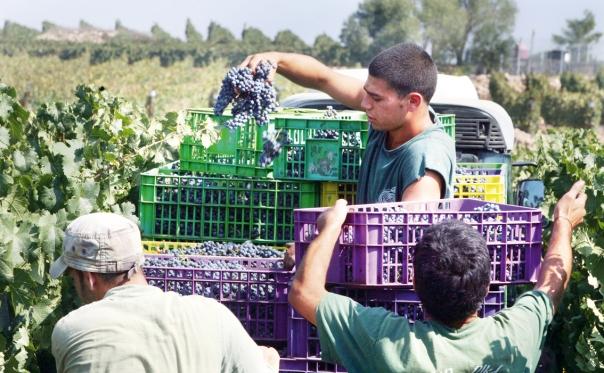 לאגד בחיי קבוצת אנשים את כל יסודות היחד. בציר ענבים בקיבוץ צובה  צילום: EPA