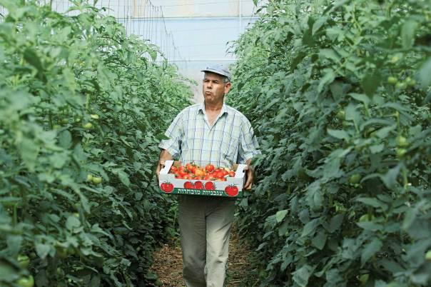 תורם של העירוניים למחול על חובותיהם של החקלאים. חקלאי במטע עגבניות  צילום: משה שי, פלאש 90
