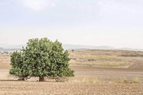 אלוני ממרא - מישור, אלה או אלון? צילום: שאטרסטוק