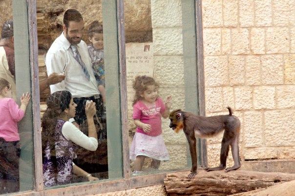 """מהו ההסבר לכך שבני האדם סוגרים את הקופים בכלובים ומביטים בהם ולא הפוך? גן החיות התנ""""כי בירושלים צילום: יוסי זמיר, פלאש 90"""