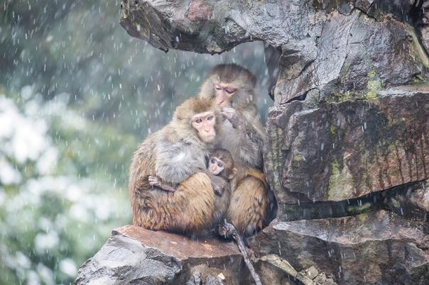 מי שגדל עם אימא מחבקת היה מלא שמחת חיים וביטחון. משפחת קופים, סין צילום אילוסטרציה: גטי אימג'ס